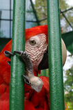 Trapped II. Red macaw in a cage Royalty Free Stock Photo