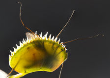 Trapped insect in Venus Flytrap Stock Photography