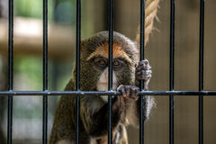 Trapped Monkey Royalty Free Stock Photo