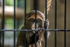Trapped Monkey Royalty Free Stock Photo