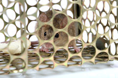Trapped mouse. Helpless mouse trapped in metal cage Royalty Free Stock Images