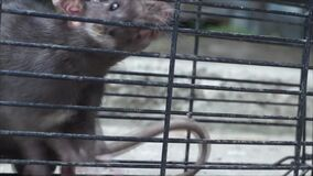 Trapped mouse in wire cage. Trying to escape stock video footage