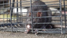 Trapped mouse in wire cage. Trying to escape stock footage