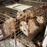 Trapped Opossums. A group of wild opossums trapped in a Royalty Free Stock Images