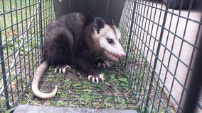 Trapped Possum Royalty Free Stock Images