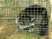 Trapped raccoon. In a cage Royalty Free Stock Images