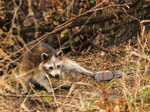 Trapped Raccoon. A raccoon with it's paw stuck in a cuff trap Royalty Free Stock Photography