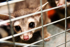 Trapped Ring-Tailed Cat-1 Royalty Free Stock Images