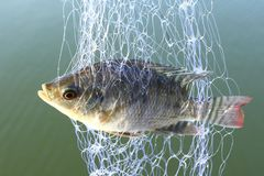 Trapped in trawl. Small tilapia fish trapped in trawl royalty free stock images