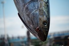 A trapped tuna is loaded royalty free stock image