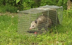 Trapped Virginia Opossum Stock Photos