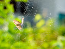 Trapped in a Web. Butterfly trapped in a web and struggling in vain to escape Stock Images