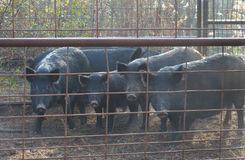 Trapped Wild Hogs Royalty Free Stock Image