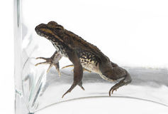 Trapped young toad in a glass vase. Stock Photography