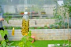 Trappola dell'insetto in giardino organico Fotografie Stock Libere da Diritti