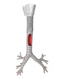 Traqueia - sistema pulmonar Imagem de Stock
