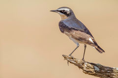 Traquet du nord masculin dans le plumage d'élevage images libres de droits