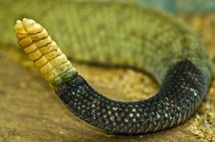 Traqueteo de una serpiente de cascabel fotos de archivo libres de regalías