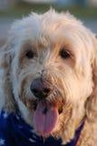 Trasandato, il cane di Goldendoodle con la sua sciarpa della bandiera e lingua fuori alla spiaggia Fotografie Stock