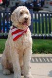 Trasandato, un grande cane di Goldendoodle che sta all'attenzione con la sua sciarpa della bandiera sopra Immagine Stock Libera da Diritti