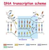 Trascrizione del DNA Colore della doppia elica della struttura del RNA e del DNA su fondo bianco Nucleotide, fosfato, zucchero e  illustrazione vettoriale