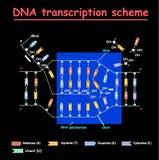 Trascrizione del DNA Colore della doppia elica della struttura del RNA e del DNA su fondo nero Nucleotide, fosfato, zucchero e ba royalty illustrazione gratis
