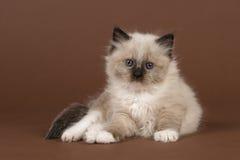 Trasdockan behandla som ett barn katten med blåa ögon som ser kameran som ner ligger på en brun bakgrund Royaltyfri Fotografi