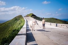 Trasferendo la mucca all'altra area per graIng I Fotografie Stock Libere da Diritti