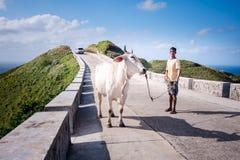 Trasferendo la mucca all'altra area per graIng I Immagine Stock