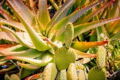 Trasferimento del polaroid del cactus Immagini Stock Libere da Diritti