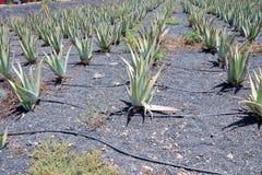 Trasferimento del polaroid del cactus Fotografie Stock