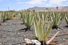 Trasferimento del polaroid del cactus Immagine Stock