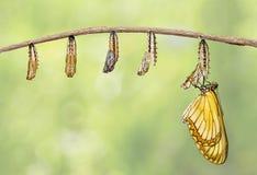 Trasformazione del issoria giallo di Acraea della farfalla del coster per immagini stock libere da diritti