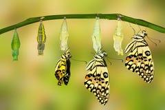 Trasformazione della farfalla della calce Immagini Stock