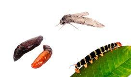 Trasformazioni delle farfalle immagini stock