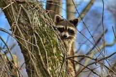 Trash Panda. Racoon tree climbing wildlife eyecontact stock images