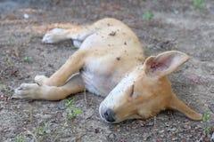 Trasig hund Fotografering för Bildbyråer