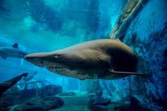 Trasig tandhaj i akvarium Royaltyfria Bilder