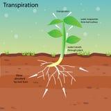 Traspirazione di una pianta Immagine Stock