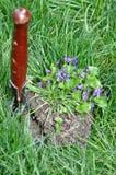 Trasplante de la flor Fotografía de archivo