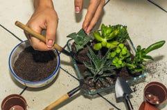 Trasplante de los succulents del sitio creación de la composición fotos de archivo