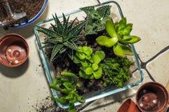 Trasplante de los succulents del sitio creación de la composición fotos de archivo libres de regalías