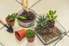 Trasplante de los succulents del sitio creación de la composición foto de archivo libre de regalías