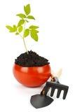 Trasplante de un árbol en un crisol del tomate fresco fotos de archivo