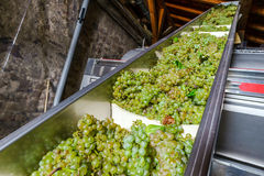 Trasportatore automatico per i mazzi dell'uva nella stampa Fotografia Stock Libera da Diritti
