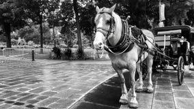 Trasporto del cavallo Fotografie Stock Libere da Diritti