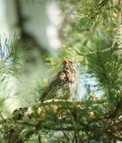 Trastsammanträde bland sörjer filialer i skogen Royaltyfri Foto