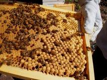 Tratando abelhas no quadro imagens de stock