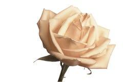 Trate color de rosa con suavidad Imagen de archivo