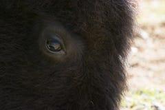 Trate el ojo con suavidad de un bisonte americano grande, o del búfalo Imágenes de archivo libres de regalías